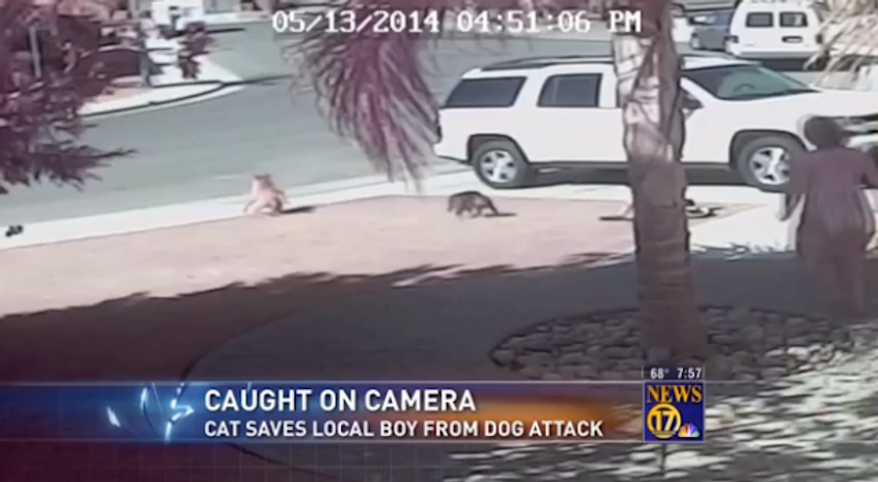 One heroic kitty is being credited with saving a 4-year-old California boy who was viciously attacked by a neighbor's dog on Tuesday. (KGET)