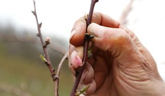 This photo taken May 2, 2014, shows Branstool Orchards owner Marshall Branstool showing buds growing on the one peach tree in his whole orchard in Utica, Ohio, that has living buds. The freeze from this year's winter destroyed this year's peach crop. (AP Photo/The Columbus Dispatch,Fred Squillante)