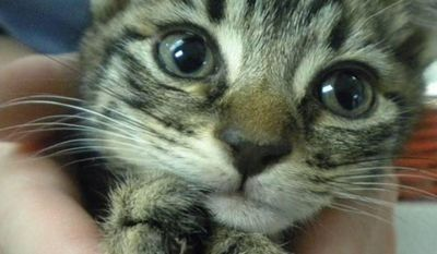 One of two kittens euthanized because of mutilation of its claws. Photo from the Washington Humane Society.