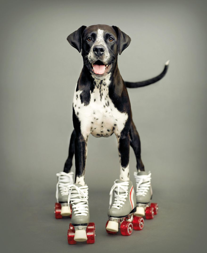 This Sept, 13, 2007 photo provided by pet photographer Rachael Hale McKenna shows one of her 'clients,' Kizzie a 6-year-old boxer-Dalmatian mix,  in a commissioned portrait taken in New Zealand. (AP Photo/Rachael Hale McKenna)