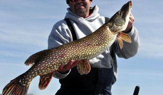 In this photo taken May 10, 2014, fishing guide Tim Ajax hoists a 40-inch northern pike he caught on Lake Mille Lacs, opening day for walleye and pike fishing, in Garrison, Minn. According to the Minnesota Department of Natural Resources, large pike like this one are disappearing in Minnesota, the result of regulations that allow one longer than 30 inches to be kept per day. This fish was released. (AP Photo/The St. Paul Pioneer Press, Dave Orrick) MINNEAPOLIS STAR TRIBUNE OUT.
