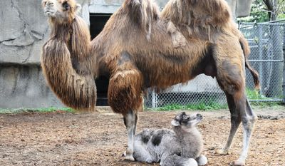 In this May 21, 2014 photo provided by the Detroit Zoological Society, a yet-to-be-named male Bactrian camel, which weighed 126 pounds at birth on May 18, sits with its mother at the Detroit Zoo in Royal Oak, Mich. (AP Photo/Detroit Zoological Society, Jennie Miller)