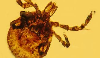 This Oct. 9, 2013 photo provided by Oregon State University in Corvallis, Ore., shows an ancient fossilized tick containing bacteria similar to the ones that cause Lyme disease. Findings by George Poinar Jr. published in the journal Historical Biology in April 2014 indicate that the tick-borne disease probably existed long before there were people to get it. (AP Photo/Oregon State University)