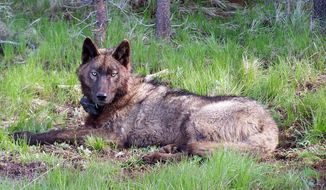 This May 20, 2014 photo provided by the Oregon Department of Fish and Wildlife shows OR-25, a yearling male from the Imnaha pack neart Joseph, Ore. State biologists are trapping and fitting Oregon's growing wolf population with GPS tracking collars which give daily satellite position reports. The reports allow ranchers to know when wolves are near livestock herds, and show scientists where young wolves have dispersed in search of mates and new territories. (AP Photo/Oregon Department of Fish and Wildlife)
