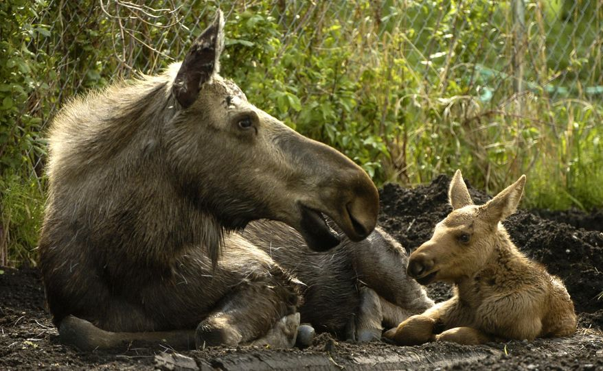 FILE - This June 1, 2006 file photo shows a baby moose resting with its mother north in Anchorage, Alaska. It's the time of year in Alaska when moose are being born, and state biologists once again are reminding people not to touch the calves, even if the animals seem to have been abandoned by their mothers.  (AP Photo/Anchorage Daily News, Bill Roth, file)