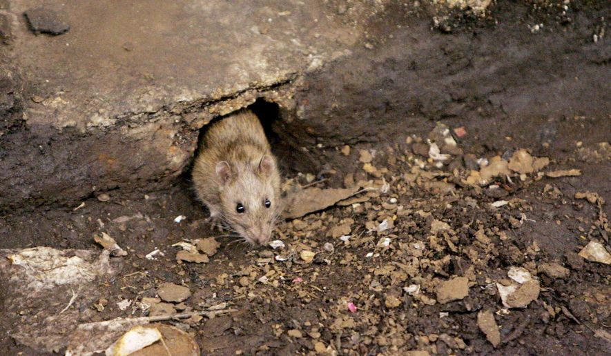 In this Dec. 12, 2005, file photo, a rat comes briefly out of its hole at a subway stop in the Brooklyn borough of New York, before retreating at the arrival of the F train. New York City is gearing up for its latest war on rats with an army of inspectors will descend on the city's most rat-infested neighborhoods, targeting the parks, sewers and dumping areas where rats congregate and breed. (AP Photo Photo/Julie Jacobson, File)