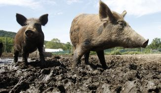 In this Aug. 24, 2011 photo, feral hogs walk in a holding pen at Easton View Outfitters in Valley Falls, N.Y. Wildlife officials in New York are devising a strategy to stop wild hogs from proliferating to the point where they're impossible to eradicate, as they've become in southern states where roaming droves have devastated crops and wildlife habitat with their rooting, wallowing and voracious foraging. (AP Photo/Mike Groll)