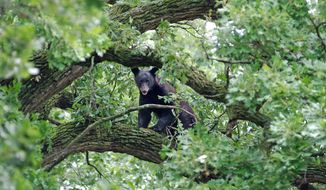 In this Wednesday, June 18, 2014 photo, a young black bear rests in a tree in Mount Morris, Ill. The bear has been spotted more than a dozen times in the past few weeks as he wanders through northwestern Illinois. Wildlife officials are urging people to stay away from the bear and they issued fresh pleas on Wednesday after dozens of people flocked to an oak tree, where the bear took refuge after ambling through town.  (AP Photo/Sauk Valley Media, Earleen Hinton)