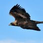 A golden eagle is shown in this undated, handout photo provided by the U.S. Fish and Wildlife Service. The U.S. Fish and Wildlife Service said Thursday, June 26, 2014 that a California wind farm will become the first in the U.S. to avoid prosecution if eagles are injured or die when they run into the giant turning blades. The Shiloh IV Wind Project LLC in California will receive a special permit allowing up to five golden eagles to be accidentally killed, harmed or disturbed over five years. (AP Photo/US Fish and Wildlife Service)