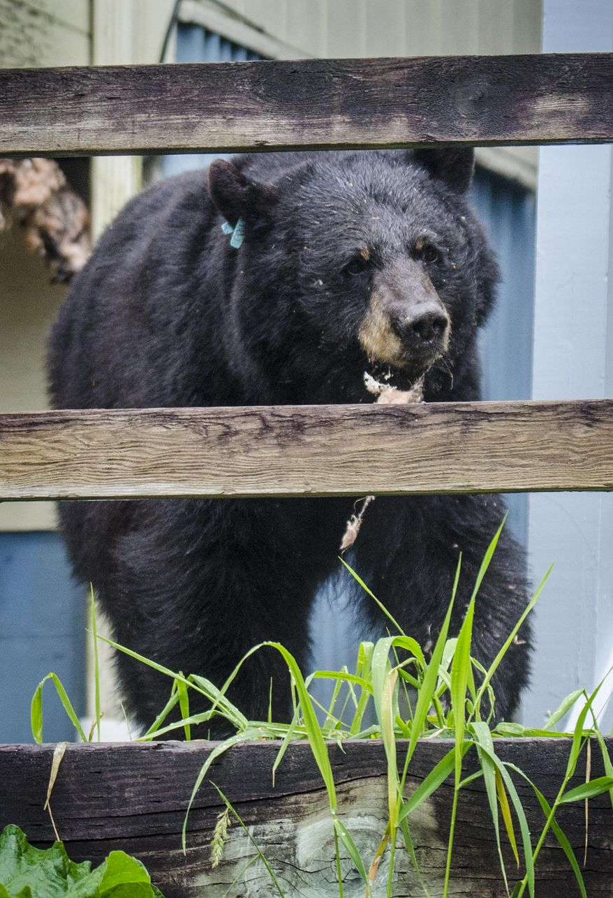 This Wednesday, June 25, 2014 photo shows a male bear with insulation hanging out of his mouth standing by the house that he ripped into the floorboards of for his beehive meal in Juneau, Alaska.  The bear was wearing an Alaska Department of Fish and Game tag.  A neighbor, Ira Winograd, said the bear must have smelled a beehive the wall of the house, so he tore it up to get to his meal. Afterward, the bear ambled along a walkway and eventually darted into the forest.  (AP Photo/The Juneau Empire, Marlena Sloss)