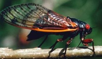 A big cicada makes interesting noises - but may not appeal to Americans as a food item. (Associated Press)