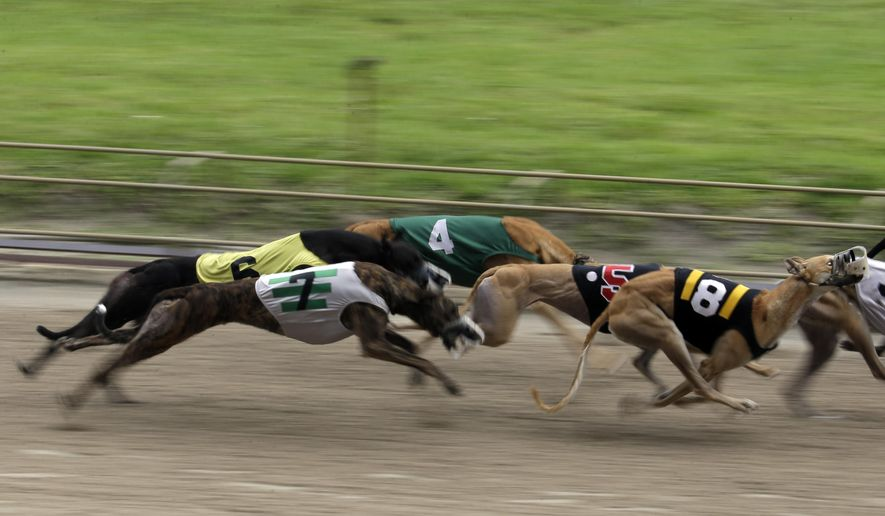 In this Tuesday, June 17, 2014, photo, greyhounds race at the Flagler Dog Track in Miami. (AP Photo/Lynne Sladky)