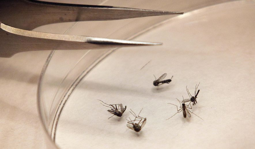 In this Aug. 16, 2012, file photo, mosquitos are sorted at the Dallas County mosquito lab in Dallas. Infectious diseases that used to be unknown in Oklahoma are now a threat to the health of its residents as maladies such as the West Nile virus, chikungunya virus and Heartland virus spread around the globe. (AP Photo/LM Otero, File)