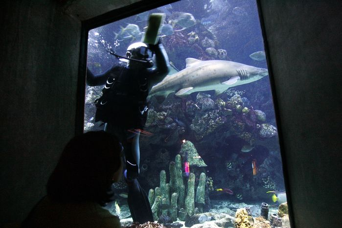 **FILE** Diver Mike Ableson, a volunteer at the New England Aquarium in Boston, cleans the glass of a giant ocean tank in the aquarium , as a shark swims by on Dec. 26, 2005. (Associated Press)