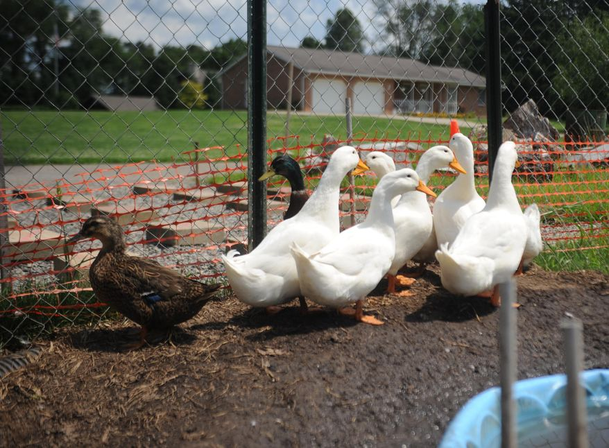 In this Thursday, July 10, 2014, photo, ducks belonging to Iraq war veteran Darin Welker roam around the backyard of his home in West Lafayette, Ohio. Welker was cited with a minor misdemeanor June 23 for having the ducks in his yard. He is scheduled to appear in Coshocton Municipal Court for a hearing Wednesday and could face a $150 fine. An Army veteran who was wounded during the Iraq War, he is worried a citation will result in him losing his 14 pet ducks, which he says are therapeutic. (AP Photo/Coshocton Tribune, Trevor Jones)