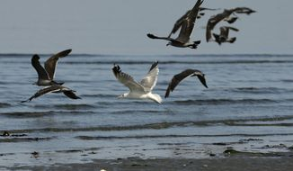 In this July 21, 2014 photo, seagulls fly off Whidbey Island near Clinton, Wash. Bird surveys are tracking a significant ecological shift in the Puget Sound region, a major decline in once-abundant marine birds. (AP Photo)