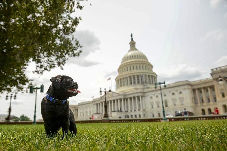 Capitol Hill staffer Tonya Williams of Washington, D.C. plays with her newborn pug on the east side of the U.S. Capitol Building, Washington, D.C., Tuesday, July 29, 2014. (Andrew Harnik/The Washington Times)
