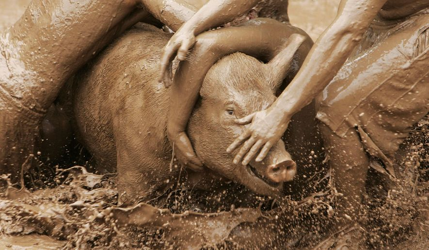 In this Aug. 8, 2010 photo, people wrestle a pig during the 40th Annual Stephensville Round-up at St. Patrick Church. Wisconsin police will monitor a church's weekend pig wrestling event after thousands of people signed an online petition expressing concerns for the animals' wellbeing. (AP Photo/The Post-Crescent) NO SALES
