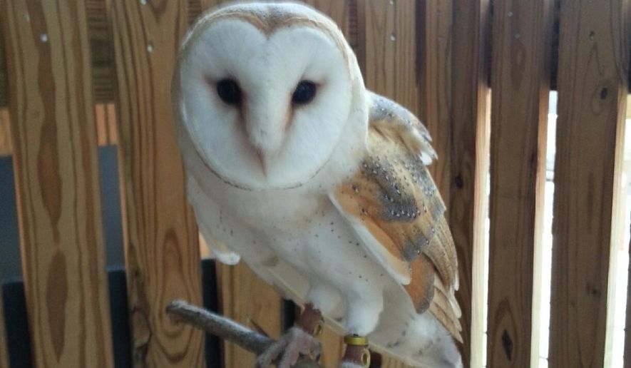 This photo provided by Zoo Atlanta shows Soren, a two-year-old male barn owl, who escaped from trainers Sunday, Aug. 10, 2014, and may no longer be wearing tracking equipment. Zoo officials say Soren isn't a danger to humans or pets. (AP Photo/Zoo Atlanta)