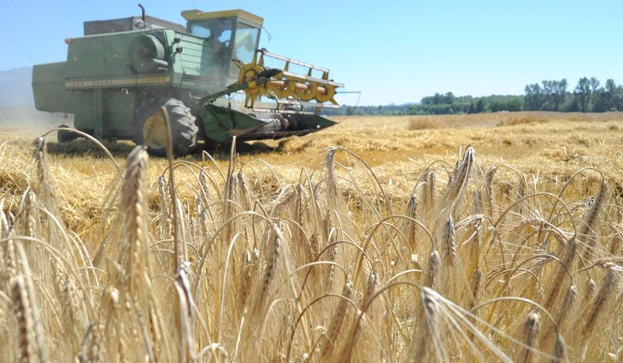 A Knutzen Farms combine harvests Alba winter barley Tuesday, July 29, 2014 in a field south of Lafayette Road east of Burlington. The barley is destined for Skagit Valley Malting, whose co-founder Wayne Carpenter said the malting facility is currently producing test batches of malt and nearing production. (AP Photo/Skagit Valley Herald, Scott Terrell)