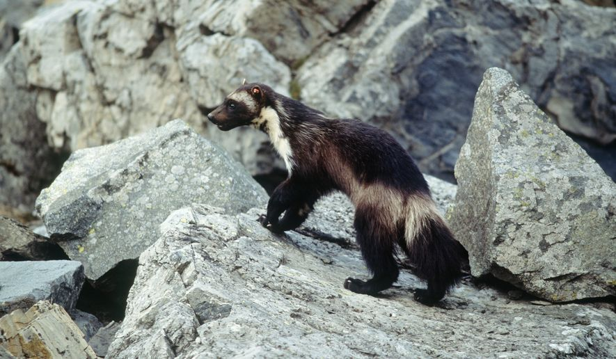 This undated photo provided by Defenders Of Wildlife shows a wolverine that had been tagged for research purposes in Glacier National Park, Mont. Federal officials will announce Tuesday, Aug. 12, 2014 that wolverines do not warrant protection under the Endangered Species Act in a finding that underscores the difficulties of using climate models to predict what could happen to a species decades from now. (AP Photo/Defenders of Wildlife, Ken Curtis)