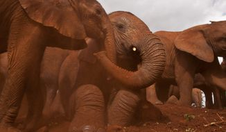 "FILE - In this Wednesday, June 5, 2013 file photo, two baby orphaned elephants touch trunks as they give themselves a dust-bath in the red earth after being fed milk from a bottle by a keeper, at an event to commemorate World Environment Day at the David Sheldrick Wildlife Trust Elephant Orphanage in Nairobi, Kenya. Wildlife Direct chief executive Paula Kahumbu on Tuesday, Aug. 12, 2014 delivered a petition with nearly 400 signatures on it to Kenya's inspector general of police urging the arrest of what her group says is the ""ivory kingpin"" of Kenya. (AP Photo/Ben Curtis, File)"