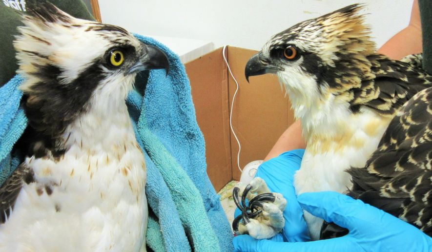 This undated photo provided by the Raptor Education Group, Inc., shows an adult male osprey, left, and its offspring, a nestling osprey, at the Raptor Education Group facility in Antigo, Wis. U.S. Fish and Wildlife Service officials are searching for the person who shot the male osprey and possibly his mate leaving two chicks in a nest to starve. Osprey are federally protected in Wisconsin. Marge Gibson, the executive director of the Raptor Education Group, said the adult male osprey was shot in the wing and was eventually euthanized. Gibson determined the male osprey was the father of two hungry osprey chicks discovered a few days later. She said one of the chicks jumped from its nest, about 60 to 80 feet above ground, into traffic and died. The other chick also jumped, but it survived after landing in grass, and is expected to recover. (AP Photo/Courtesy of the Raptor Education Group, Inc.)