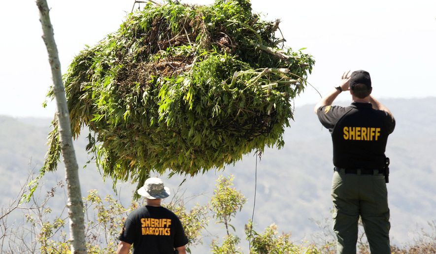 An Orange County Sheriff's Department narcotic investigator photographs a helicopter load as they clip up at least 2,500 marijuana plants growing in the Muddy Canyon area of the Laguna Coast Wilderness Park, Friday morning  Aug. 15, 2014, near Newport Beach, Calif. (AP Photo/The Orange County Register, Ken Steinhardt) MAGS OUT; LOS ANGELES TIMES OUT