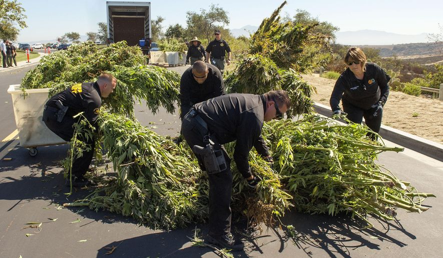 Orange County Sheriff's Department narcotics investigators conduct a marijuana eradication operation of at least 2,500 marijuana plants growing in the Muddy Canyon area of the Laguna Wilderness Park near Laguna Beach, Calif. on Friday, Aug. 15, 2014. (AP Photo/The Orange County Register, Ken Steinhardt)