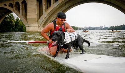 Andrew Zernovoj [cq] of Washington, D.C. pulls his dog Shout onto a paddle board near Key Bridge on the Potomac River, Washington, D.C., Wednesday, August 6, 2014. (Andrew Harnik/The Washington Times)