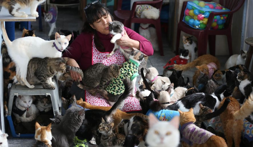 In this Aug. 2, 2014 photo, Maria Torero, plays with a group of 175 cats with leukemia in her home in Lima, Peru. Torero says caring for cats with feline leukemia is her responsibility. Anybody else can care for healthy animals. (AP Photo/Martin Mejia)