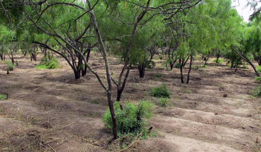Long irrigated rows that once held 11,500 marijuana plants are spread over two acres near Raymondville, Texas on Thursday, Aug. 21, 2014. Authorities found the hidden pot farm while attempting to capture immigrants who fled into it on Aug. 13, 2014. (AP Photo/Christopher Sherman)