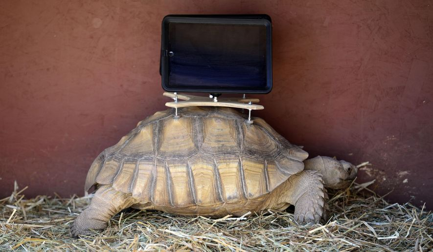 FILE - This Aug. 2, 2014 file photo shows a tortoise with an iPad mounted on its back, one of three tortoises wearing the devices for a controversial exhibit at the Aspen Art Museum in Aspen, Colo. The art exhibit have been removed at a veterinarian's request because of wet, cool weather. The tortoises at the Aspen Art Museum were taken to undisclosed conservation site on Monday, Aug. 25, 2014, less than three weeks after the exhibit opened. The museum insists the removal was not a response to backlash against the art installation. (AP Photo/The Denver Post, Kathryn Scott Osler, File)