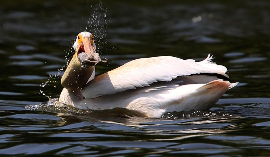 American white pelican collects a carp from the waters of Beaver Dam Lake in the Dodge County city of Beaver Dam, Wis., Tuesday, July 29, 2014. (AP Photo/Wisconsin State Journal, John Hart)