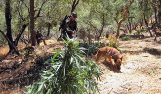 In this Wednesday, Aug 27, 2014 photo released Friday, Aug. 29 by the California Department of Fish and Wildlife, agents of the Tule River Tribal Police Department inspect an illegal marijuana operation on the Tulare River Indian Reservation in Tulare County. No arrests were made in the raid, but officials say the illegal crop tapped into a major water supply used by the reservation to nourish thousands of plants. (AP Photo/California Department of Fish and Wildlife, Lt. Patrick Foy)