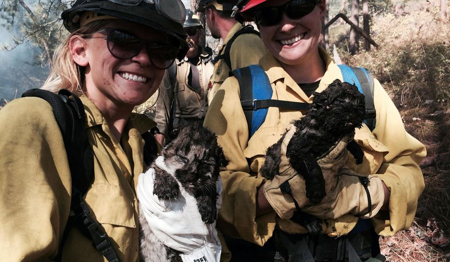 In this Friday, Aug. 29, 2014 photo provided by Bitterroot National Forest, Mont., firefighters hold two mountain lion cubs rescued from the burning log under which they were hiding. Bitterroot National Forest spokesman Tod McKay told the Missoulian a crew was digging a fire line on Friday when they heard noises coming from under the log. The fire prevented the crew from reaching the log, so they called in a helicopter that dropped 600 gallons of water. (AP Photo/Bitterroot National Forest)