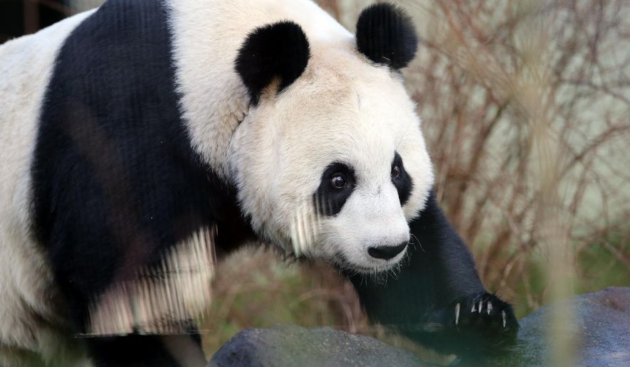 "FILE- In this file photo dated Monday, Dec 16, 2013, Giant panda named Tian Tian, is seen exploring her enclosure at Edinburgh Zoo in Edinburgh, Scotland.  The zoo has sounded warnings that Tian Tian may have lost her cub, and experts are monitoring her closely, as the zoo's panda expert Iain Valentine said Monday Sept. 1, 2014, that Tian Tian is ""now past her due date,"" and hormone tests showed that ""something may be amiss.""  (AP Photo/Scott Heppell, FILE)"