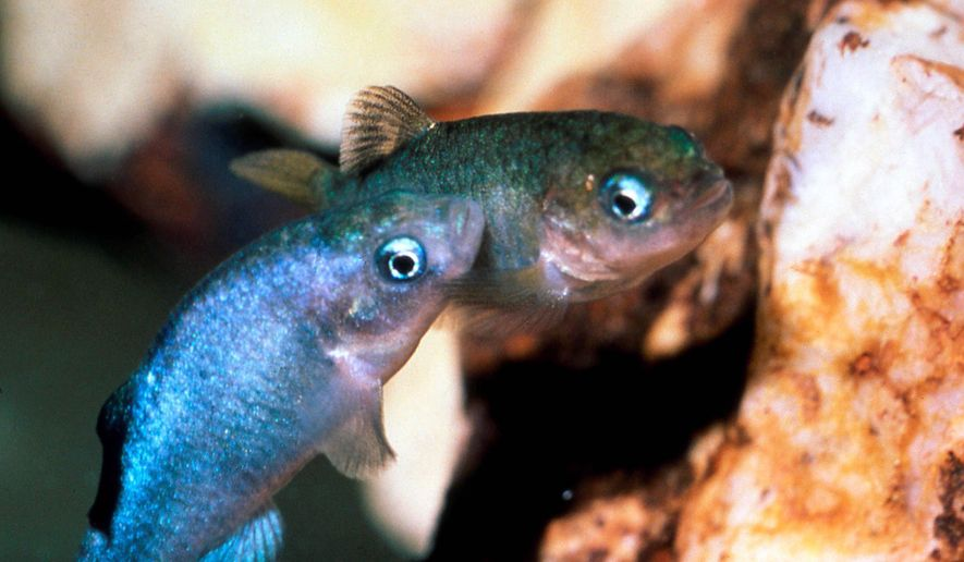 FILE - This undated file photo provided by the U.S. Fish and Wildlife Service via the Las Vegas Review-Journal shows two Devil's Hole pupfish in a cave at Death Valley National Park in Nevada, northwest of Las Vegas near Ash Meadows National Wildlife Refuge. For 10,000 years, a tiny iridescent blue fish has lived in the depths of a cavern in Nevada's desert, but a new study says climate change and warming waters, and its lack of mobility are threatening the pupfish and decreasing its numbers. (AP Photo/U.S. Fish and Wildlife Service, Tom Baugh, File) LOCAL TV OUT; LOCAL INTERNET OUT; LAS VEGAS SUN OUT
