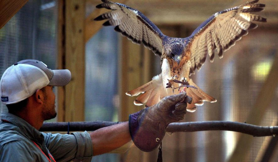 In this Aug. 25, 2014 photo, James Fleullan holds up a treat for Hunter, a red-tailed hawk, during a training session at Oatland Island Wildlife Center, in Savannah, Ga. Fleullan, a volunteer at the center, is training the hawk to fly on command from perch to his gloved hand. (AP Photo/Savannah Morning News, Steve Bisson)