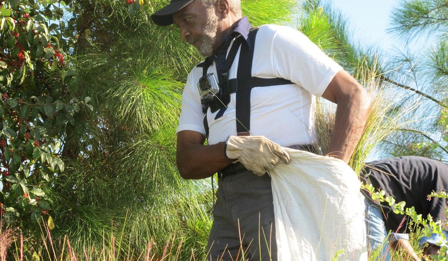 Joe Mazyck, 80, of Mount Pleasant, S.C., harvests sweetgrass on Wednesday, Sept. 3, 2014 on property owned by the U.S. Army Corps of Engineers near St. Stephen, S.C. It was the first time the Corps opened the patch of sweetgrass, used to make the iconic baskets woven by slave descendants along the nation's Southeast coast, to harvesting. The Corps also has several other areas of sweetgrass on the upper South Carolina coast it plans to open to harvesting in the future. (AP Photo/Bruce Smith)