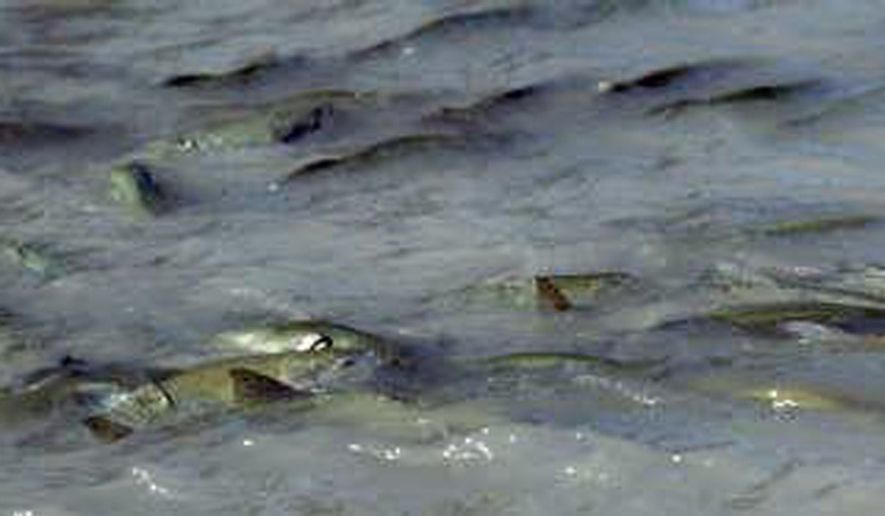 ** FILE** Pink salmon swim in the White River near Buckley, Wash. (Associated Press)