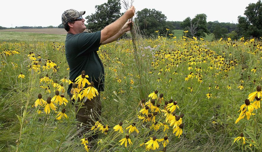 ADVANCE FOR USE SATURDAY, SEPT. 6 AND THEREAFTER - In this Aug. 7, 2014 photo, Jason Shoemaker, Parklands Foundation land steward, examines a stand of big bluestem grass, native to Illinois, while he walked the foundation's prairie land near Lexington, Ill. The foundation has restored the park to original prairie found at the time settlers arrived in Illinois. (AP Photo/The Pantagraph, David Proeber)