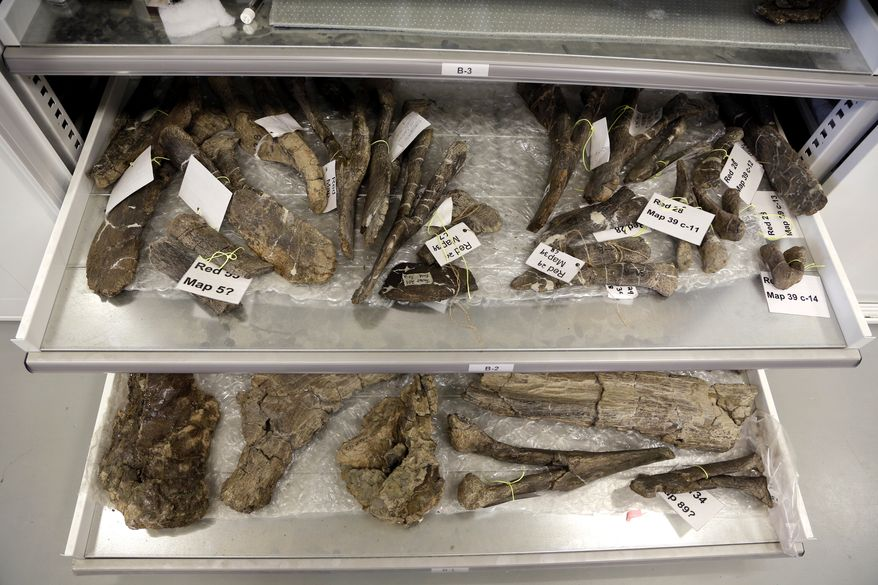 In this Aug. 26, 2014 photo, bones from a Dreadnaughtus schrani are displayed at a lab at  Drexel University in Philadelphia. The immense dinosaur from Patagonia is slated to be introduced to the scientific community Thursday, Sept. 4, 2014. Scientists hope its unusually well-preserved bones will help reveal secrets about some of the largest animals ever to walk the Earth. The four-legged beast with a long neck and tail weighed an estimated 65 tons and stretched about 85 feet long. (AP Photo/Jacqueline Larma)