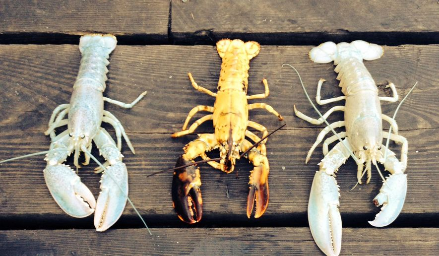 In this photo provided by Owls Head Lobster Company, two rare albino lobsters flank a rare yellow lobster on a deck in Owls Head, Maine, Friday, Sept. 5, 2014. The Portland Press Herald reports Bret Philbrick caught the curious crustacean off of Owls Head on Thursday and Joe Bates caught one off the Rockland breakwater days earlier. Albino lobsters are believed to be about one in 100 million. (AP Photo/Owls Head Lobster Company, Elizabeth Watkinson)