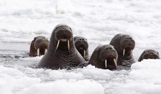 This June 2014 released by the U.S. Fish and Wildlife Service shows Pacific walruses in the Chukchi Sea off the coast of Alaska. Researchers are trying to get a better handle on the size of the Pacific walrus population ahead of an expected decision by the U.S. Fish and Wildlife Service on whether the animals need special protections. (AP Photo/U.S. Fish and Wildlife Service)
