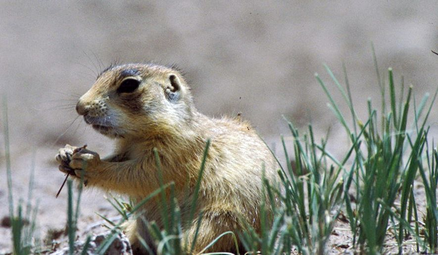 FILE - In this undated file photo released by Forest Guardians, a prairie dog eats in southwestern Utah. Cedar City residents who say prairie dogs are overrunning parts of their town are set to argue Thursday, Sept. 11, 2014 against federal regulations protecting the animals. Residents suing in federal court say the prairie dogs have done damage to the city's golf course, airport and at the cemetery, even interrupting funerals with their barking. (AP Photo/Forest Guardians, File)