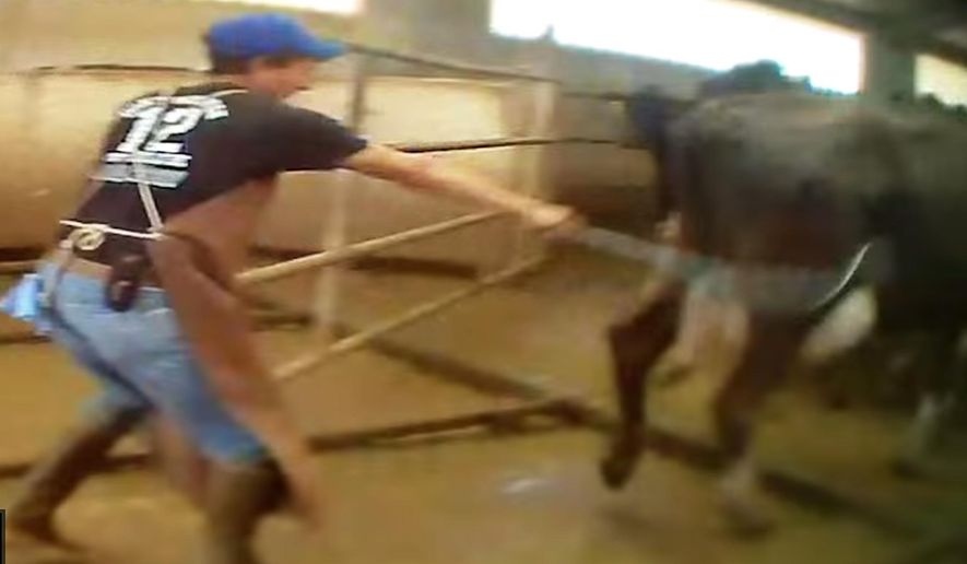 In an undated photo provided by Mercy for Animals, worker whips a cow with a chain at a southern New Mexico dairy in this still frame made from video recorded secretly. The New Mexico Livestock Board has launched an investigation into the dairy after an activist working with the animal welfare group recorded secret video showing workers whipping cows with chains and wire cables, kicking and punching the animals, and shocking them with electric prods. (AP Photo/Mercy for Animals)