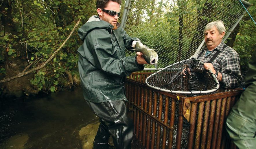 George Adams Fish Hathery's Rocky Guimont removes a fish from the net of volunteer Ed Boucher at the Union River fish trap in Belfair, Wa., on Tuesday, Sept. 16, 2014. David and volunteers were collecting the fish that were trapped overnight. The trap provides precise information about the fish swimming up the river.  (AP Photo/Kitsap Sun, Meegan M. Reid)