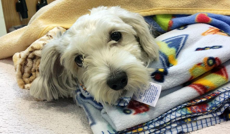 This photo provided by ACCESS Specialty Animal Hospitals shows Gordo, a 1- to 2-year-old Maltese mix that was struck by a van during a police chase Wednesday night, being cared for at City Of Angels Veterinary Specialty Center in Culver City, Calif., Thursday, Sept. 18, 2014. He was listed in stable condition awaiting surgery Thursday. During the chase, television reports showed the litttle dog running in the street and being hit. Hospital spokeswoman Shannon Brown says the dog has a deep cut and broken bones. (AP Photo/ACCESS Specialty Animal Hospitals)