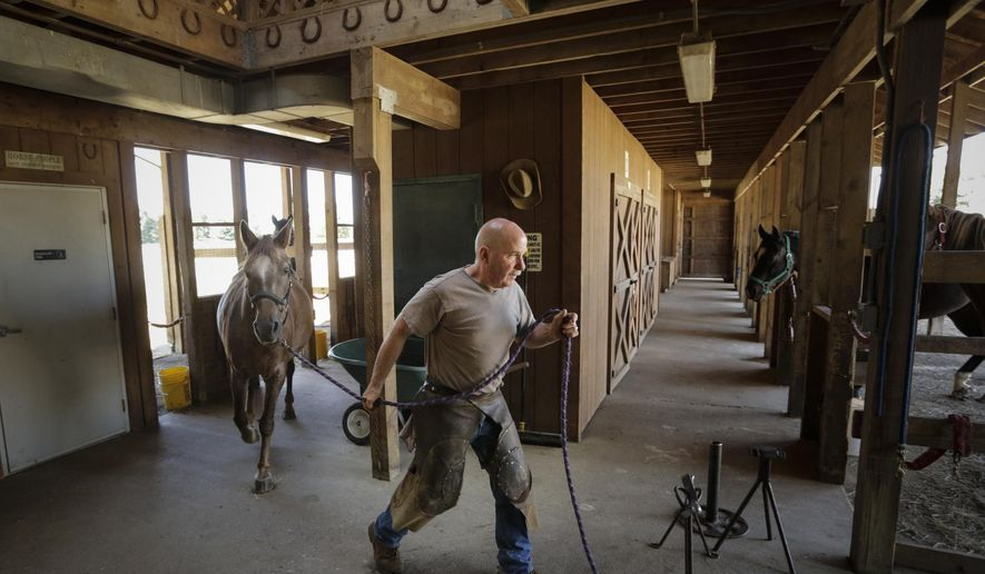 Farrier Joe Blackburn pulls a horse to shoe and trim on Sept. 16, 2014 in the Equestrian Center at the 990-acre Camp Innisfree in Howell, Mich. The camp that has two lakes, climbing ropes, zipline and year-round Equestrian Center with 30 horses is closing down. Camp Innisfree is the latest in several Girl Scout camps to have closed in the last 12 years around metro Detroit. (AP Photo/Detroit Free Press, Ryan Garza )  DETROIT NEWS OUT;  NO SALES